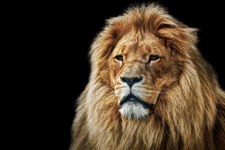 Leeuw portret op zwarte achtergrond Grote volwassen leeuw met rijke manen Stockfoto