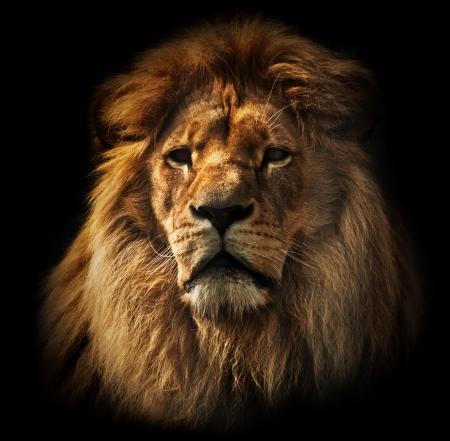 leones: Retrato del le�n sobre fondo negro Gran le�n adulto con ricos melena Foto de archivo