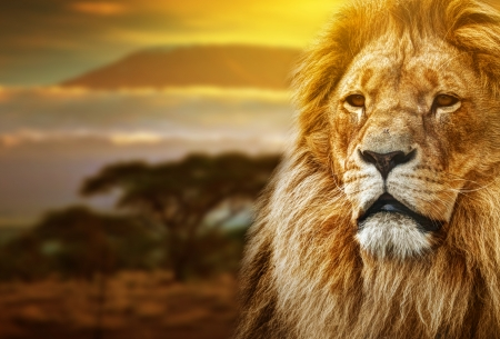 africa tree: Lion portrait on savanna landscape background and Mount Kilimanjaro at sunset