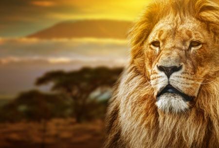 Lion portrait on savanna landscape background and Mount Kilimanjaro at sunset