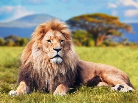Gran león tumbado en la hierba de sabana. Paisaje con árboles característicos de la llanura y colinas en el fondo