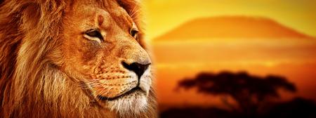 Retrato del león en el fondo del paisaje de la sabana y el Monte Kilimanjaro al atardecer versión panorámica