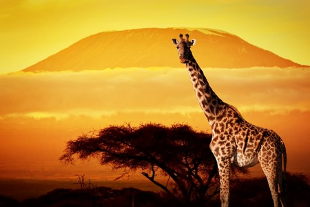 Giraffe on savanna landscape background and Mount Kilimanjaro at sunset photo
