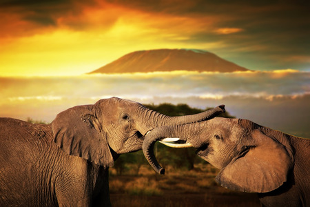 Elephants playing with their trunks on savanna  Mount Kilimanjaro at sunset in the background