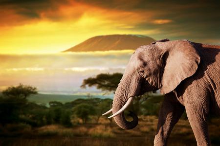 elefant: Elefant auf Savannenlandschaft Hintergrund und Mount Kilimanjaro bei Sonnenuntergang