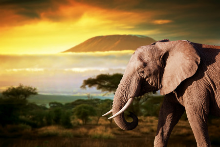 Elephant on savanna landscape background and Mount Kilimanjaro at sunset