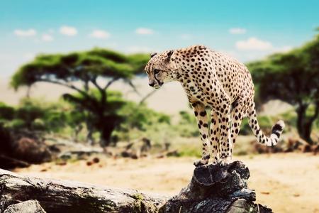 Een wilde cheetah op het punt om te vallen, jacht, zittend op een dode boom. Safari in Serengeti, Tanzania, Afrika.