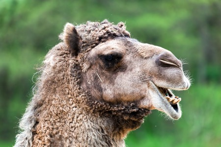 head close up: Bactrian camel portrait. Funny expression, head close up.