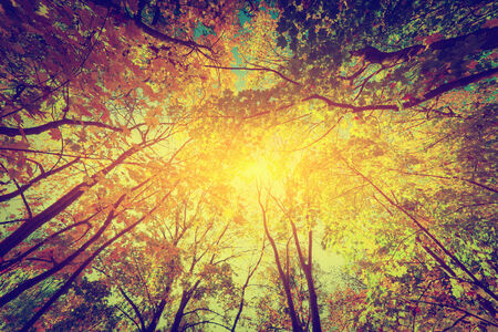 shining through: Autumn, fall trees. Sun shining through colorful leaves. Vintage photograph style Stock Photo