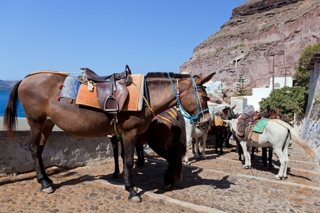 thera: Donkeys in Fira on the Santorini island, Greece. They are a local symbol and take people, tourists to the port down the cliff.