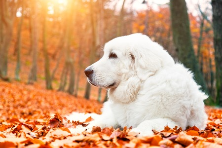 sheepdog: Cute white puppy dog lying in leaves in autumn, fall forest. Polish Tatra Mountain Sheepdog, known also as Podhalan or Owczarek Podhalanski