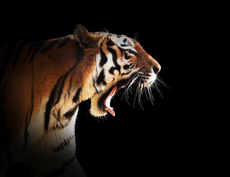 야생 호랑이의 포효. 검은 배경에 고립, 어두운 림