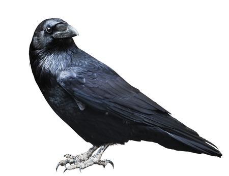 Black raven. Bird isolated on white, profile view.