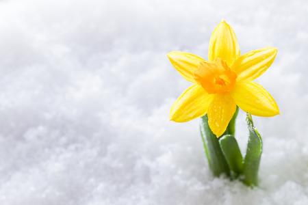 クロッカスの花フォーム雪成長しています。春の始まり。自然 写真素材 - 38961673