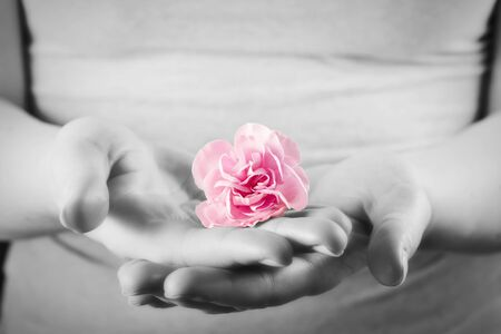 sensual massage: Pink soft flower in woman hands. Spa, protection, health care concept. Black and white and color. Stock Photo