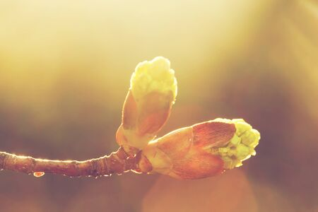 spring bud: Blooming spring bud in morning light. Sunny nature background