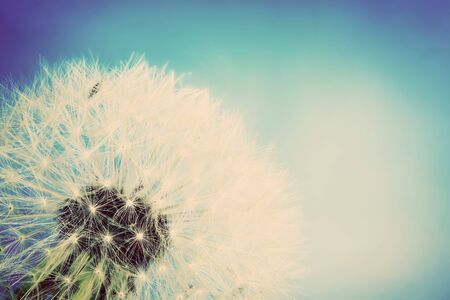 fragile peace: Close-up of dandelion on blue sky background. Vintage spring theme