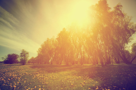 sun shine: Vintage nature countryside. Spring sunny park, trees and dandelions