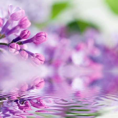 Purple spring lilac flowers blooming close-up. Water reflection. Syringa vulgaris Stock Photo