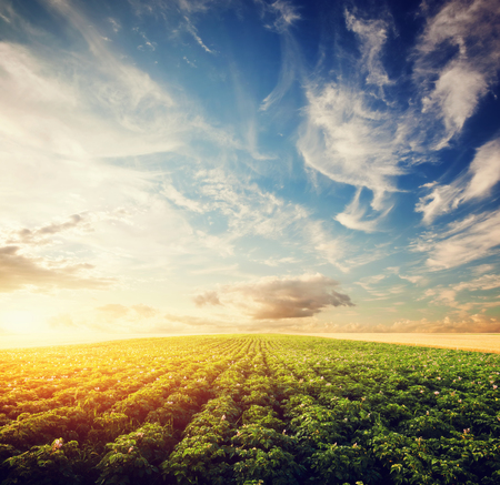 papas: Campo de cultivo de la patata al atardecer. Agricultura, área cultivada profesional, granjas Foto de archivo