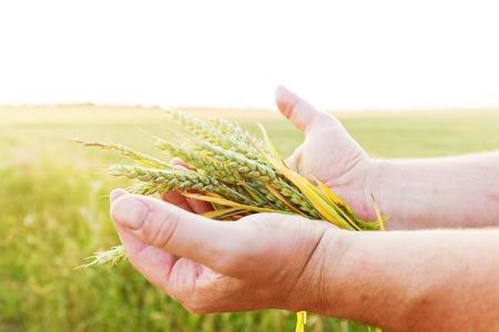 cosecha de trigo: Cereales verdes frescas, granos en manos de los agricultores. Agricultura, concepto de cosecha. El trigo, el campo de centeno.