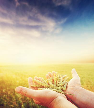 新鮮な緑の穀物、穀物農家の手で。農業、収穫の概念。小麦、ライ麦フィールド。