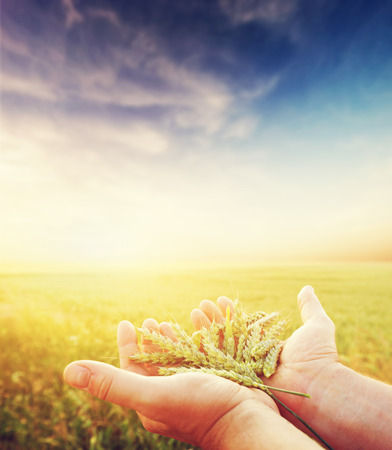 Fresh green cereal, grain in farmer's hands. Agriculture, harvest concept. Wheat, rye field.