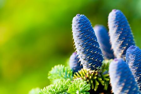 Caucasian fir tree cones close-up. Called also Abies nordmanniana or the Nordmann fir
