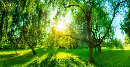 shining through: Panorama of green summer park. Sun shining through trees, leaves. Nature theme