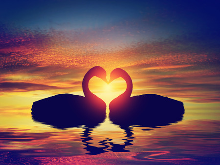 swan on the lake: Two swans making a heart shape at sunset. Valentines day romantic concept Stock Photo