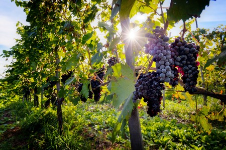 Ripe wine grapes on vines in Tuscany, Italy. Sun shining through leaves