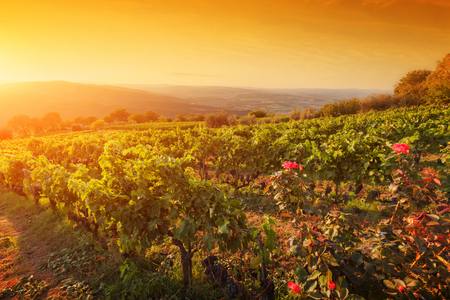 organic farm: Vineyard in Tuscany, Italy. Picturesque wine farm at sunset. Ripe grapes