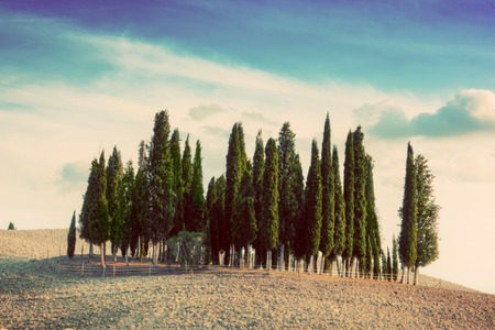 agriturismo: Cypress trees on the field in Tuscany, Italy at sunset. Tuscan landscape in vintage, retro mood