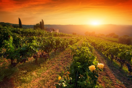 Ripe wine grapes on vines in Tuscany, Italy. Picturesque vineyard wine farm. Sunset warm light