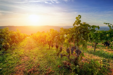the tuscany: Vineyard in Tuscany, Italy. Picturesque wine farm at sunset. Ripe grapes