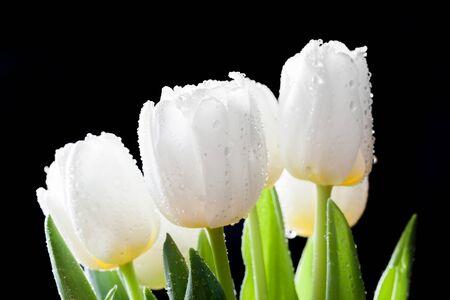 Tulips: Fresh white tulips on black background. Spring bouquet