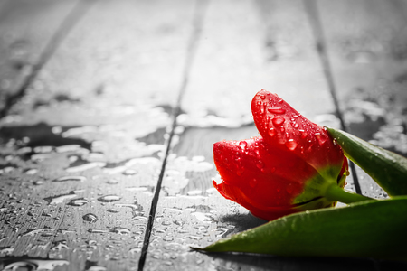 Fresh red tulip flower on wood. Wet, morning dew. Spring concept of romantic love, Valentines Day, but may also be heartbreak
