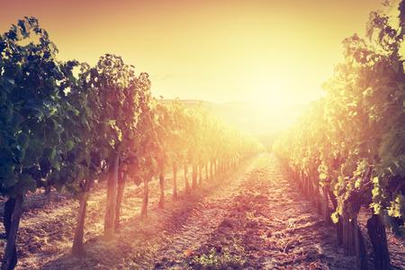 montalcino: Vineyard wonderful landscape in Tuscany, Italy. Wine farm at sunset