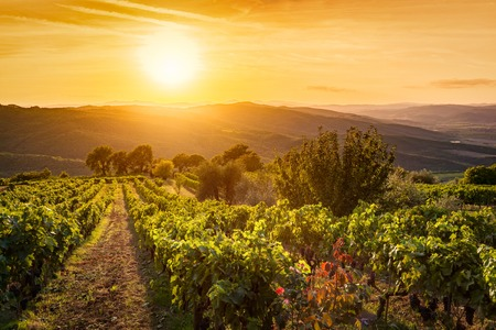 toscana: Vineyard wonderful landscape in Tuscany, Italy. Wine farm at sunset