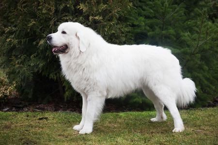 role models: Polish Tatra Sheepdog. Role model in its breed. Also known as Podhalan or Owczarek Podhalanski