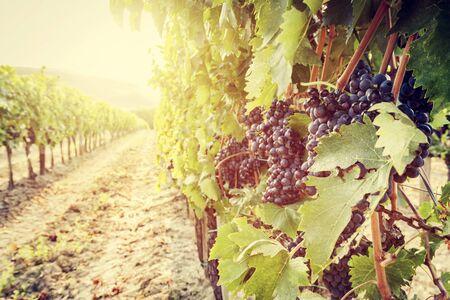 vineyard: Ripe wine grapes on vines in Tuscany vineyard, Italy. Sun shining through leaves