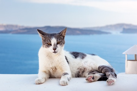 summer holidays: Cat lying on stone wall in Oia town, Santorini, Greece. Aegean sea and Caldera behind