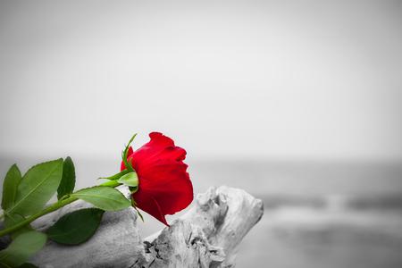 Rosa roja situada en árbol roto en la playa. El concepto de amor romántico, romance, pero también puede simbolizar una pérdida, la melancolía, la memoria del pasado etc. Color contra el blanco y negro