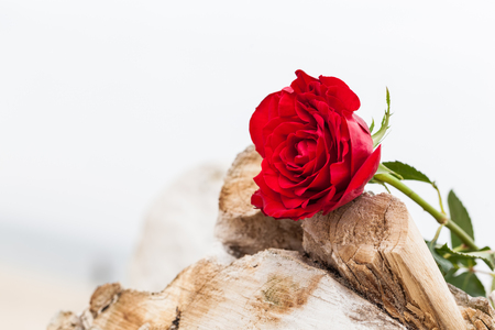 melancholy: Red rose lying on broken tree on the beach. Concept of romantic love, romance, but may also symbolize a loss, melancholy, memory of the past etc.
