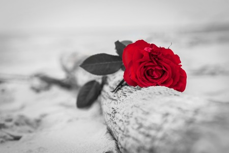 grieve: Red rose lying on broken tree on the beach. Concept of romantic love, romance, but may also symbolize a loss, melancholy, memory of the past etc.  Color against black and white