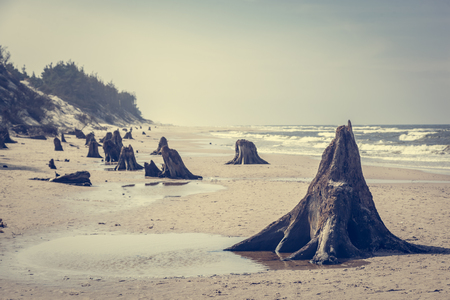 beechwood: 3000 years old tree trunks on the beach after storm. Slowinski National Park, Baltic sea, Poland. Unique, nature phenomenon. Vintage