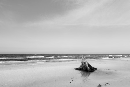 beechwood: 3000 years old tree trunks on the beach after storm. Slowinski National Park, Baltic sea, Poland. Unique, nature phenomenon. Black and white