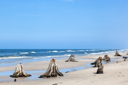 beechwood: 3000 years old tree trunks on the beach after storm. Slowinski National Park, Baltic sea, Poland. Unique, nature phenomenon Stock Photo