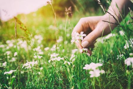 Fleures: Femme ramassant des fleurs dans une prairie, la main close-up. la lumière du matin, l'herbe verte. Cru Banque d'images