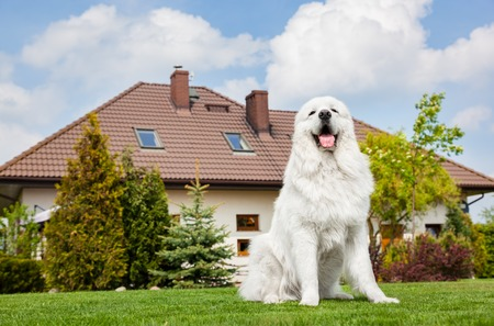 Big guard dog sitting in front of the house. Polish Tatra Sheepdog also known as Podhalan or Owczarek Podhalanski